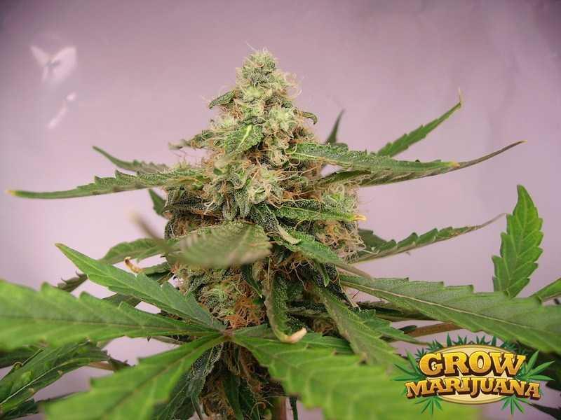 Jamaican Pearl Seeds - Strain Review | Grow-Marijuana.com