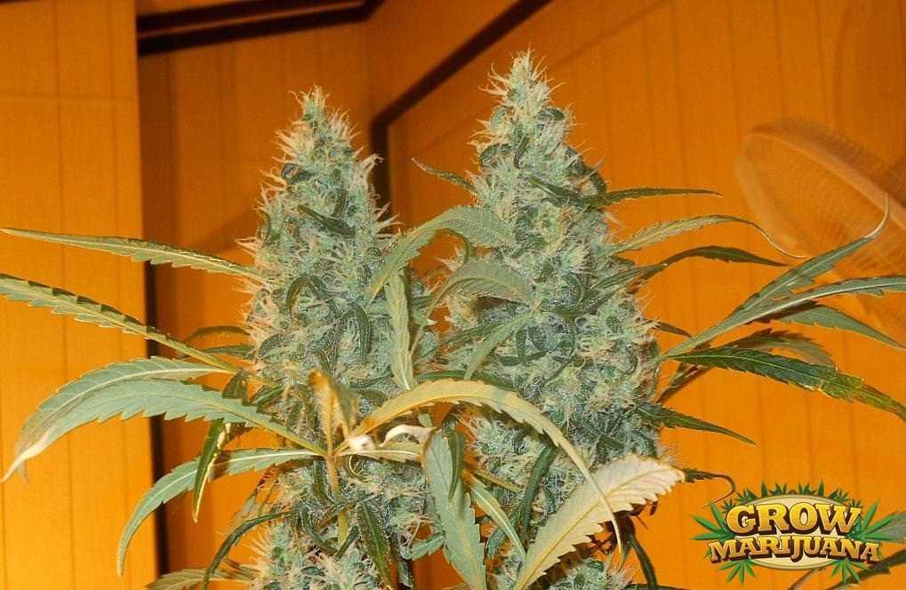 Kali Mist Seeds Strain Review Grow Marijuana Com