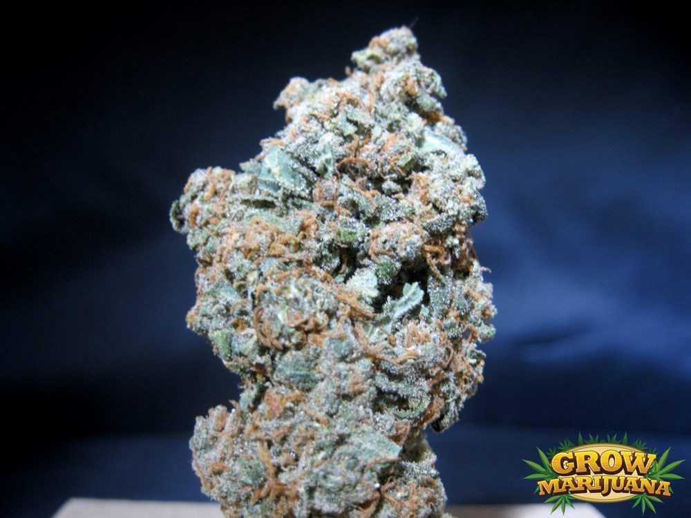 kush bomb seeds   strain review grow marijuana
