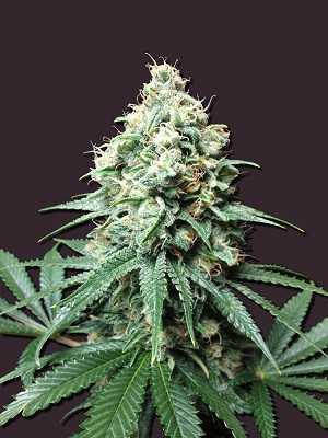 Kush Bomb Seeds - Strain Review | Grow-Marijuana com