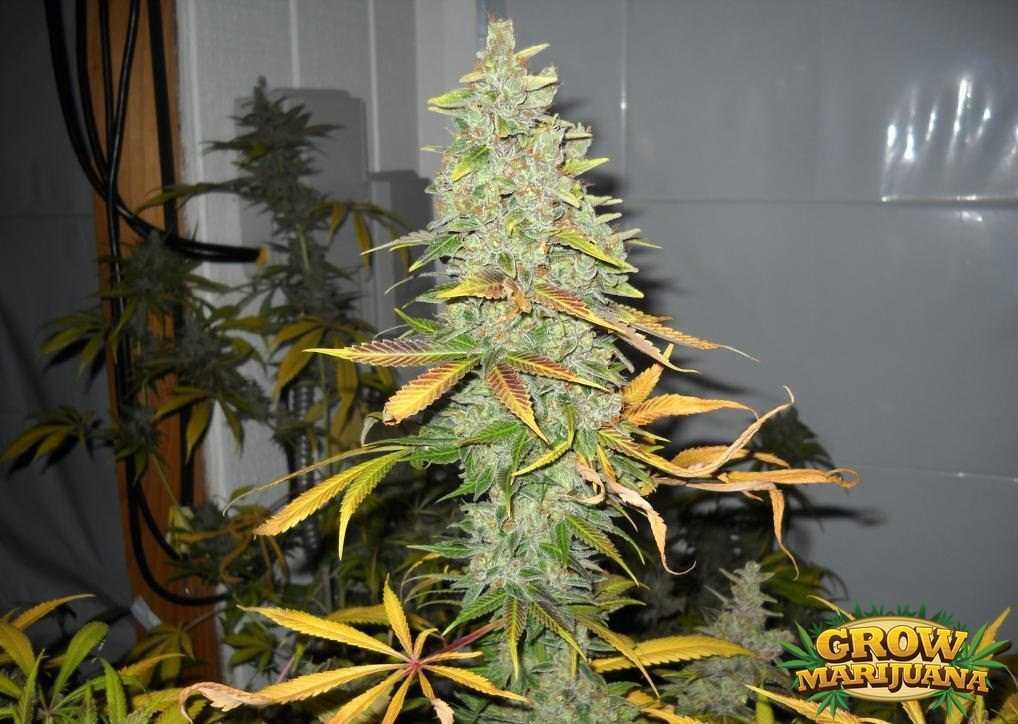 Gorilla Glue Review >> Lemon Drop Seeds - Strain Review   Grow-Marijuana.com