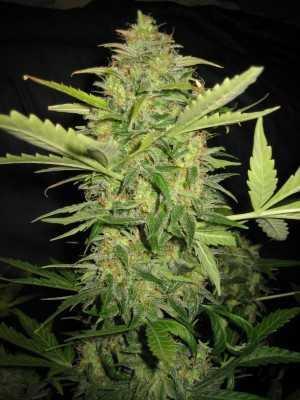 Lemon skunk plant