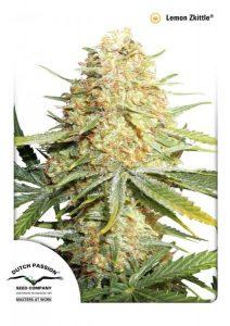 Lemon zkittle marijuana strain