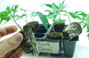 Marijuana Cloning