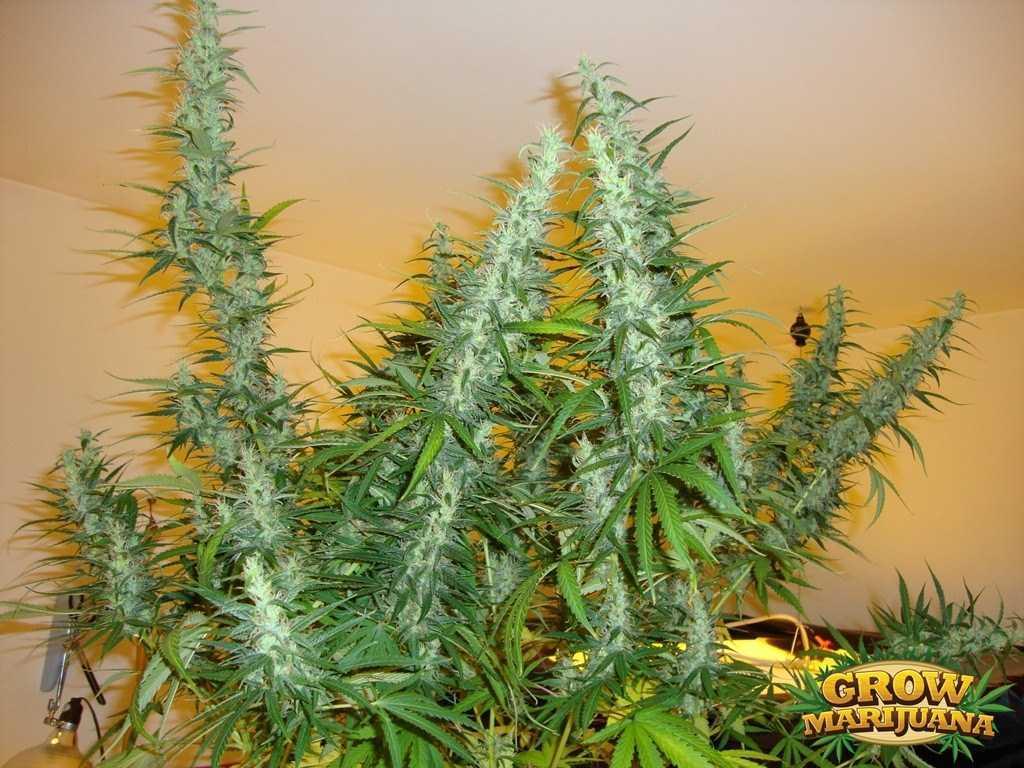 mekong high seeds strain review grow marijuanacom