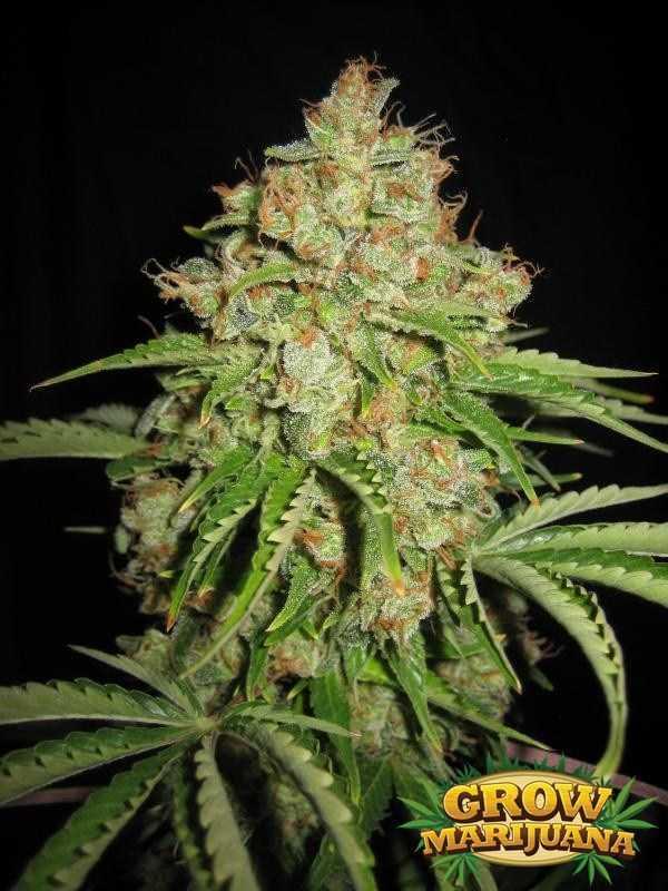 Mountain Mist Weed Seeds Strain Review Grow Marijuana Com