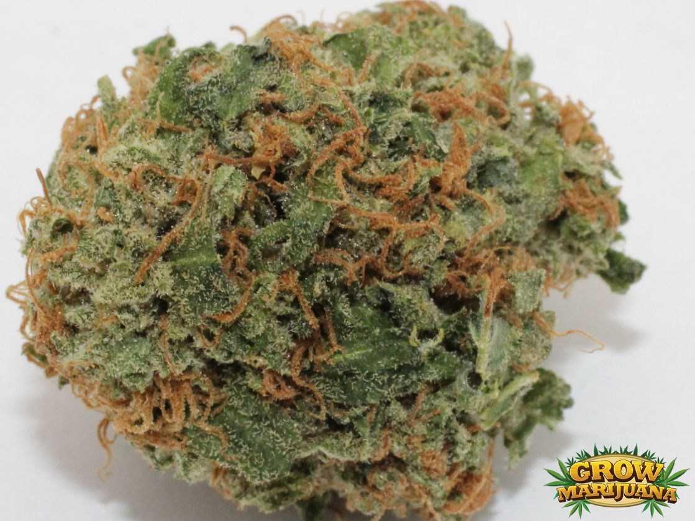 Northern lights seeds strain review grow marijuana northern lights bud aloadofball Choice Image