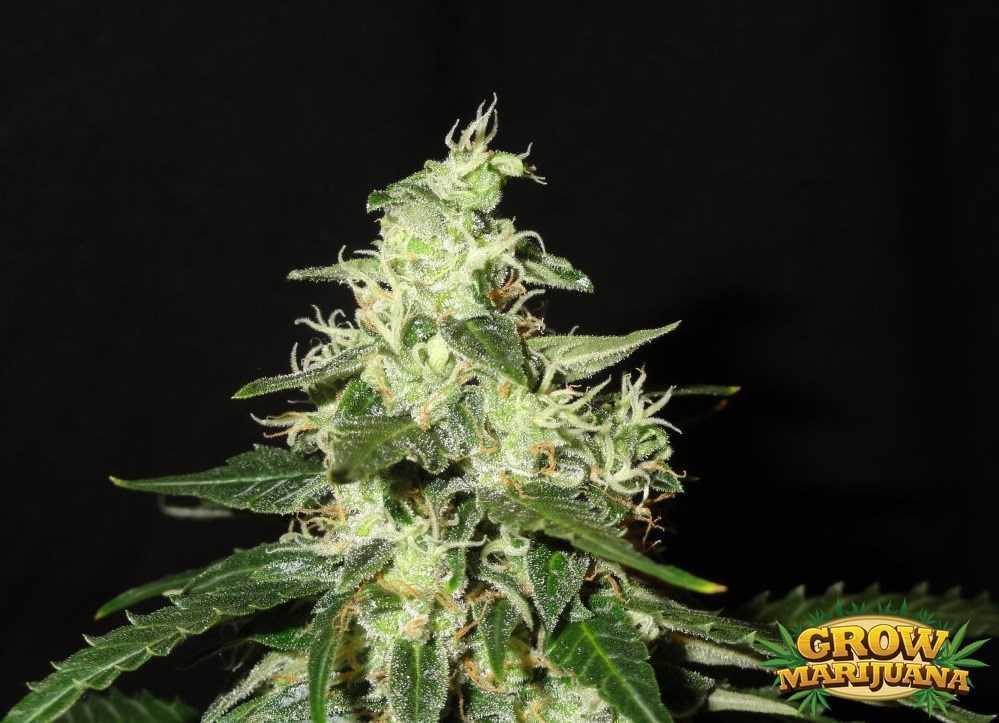 Gorilla Glue Review >> Northern Storm Auto Seeds - Strain Review | Grow-Marijuana.com