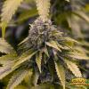 OG Ghost Train Haze Cannabis
