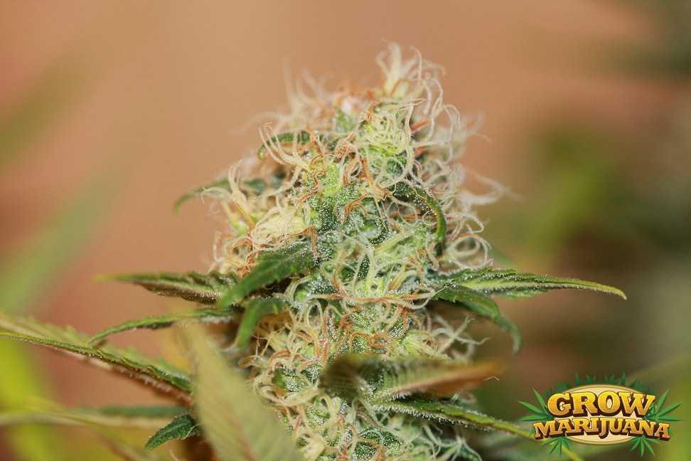 Blueberry Fruit Orange Crush Seeds - S...