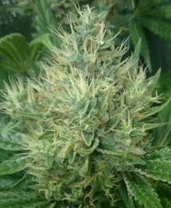 Panama-Bangi Haze-marijuana-seeds