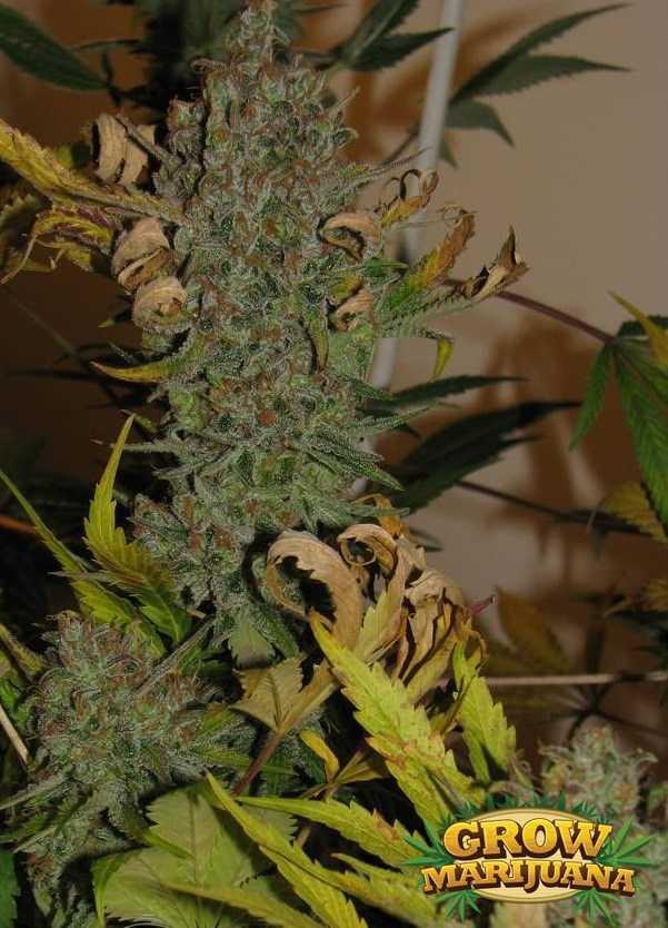 Gorilla Glue Review >> Papaya Seeds - Strain Review | Grow-Marijuana.com