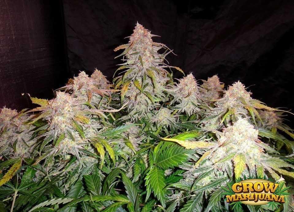 Polar Express Seeds Strain Review Grow Marijuana Com
