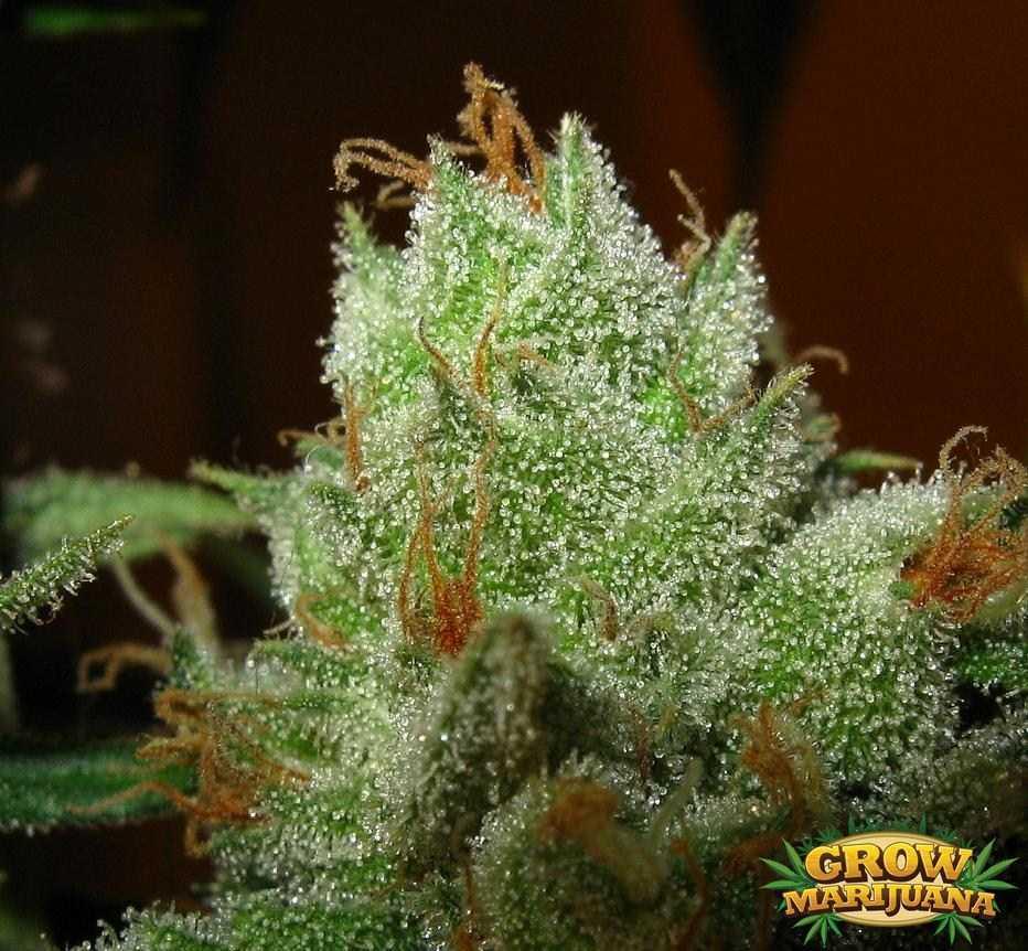Pot Of Gold Seeds Strain Review Grow Marijuana Com