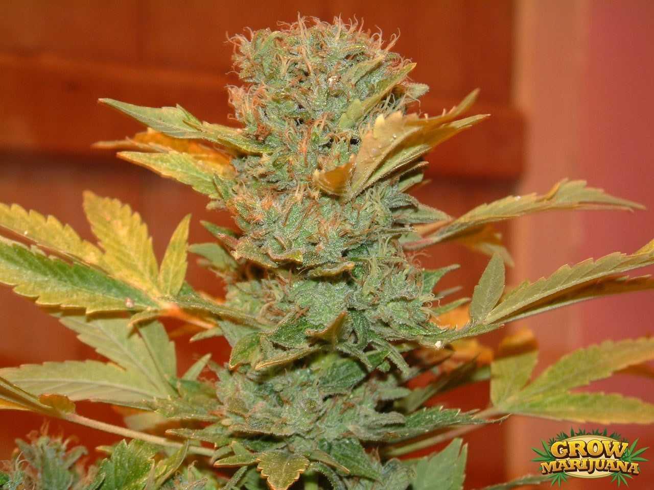 Power Kush Seeds Strain Review Grow Marijuana Com