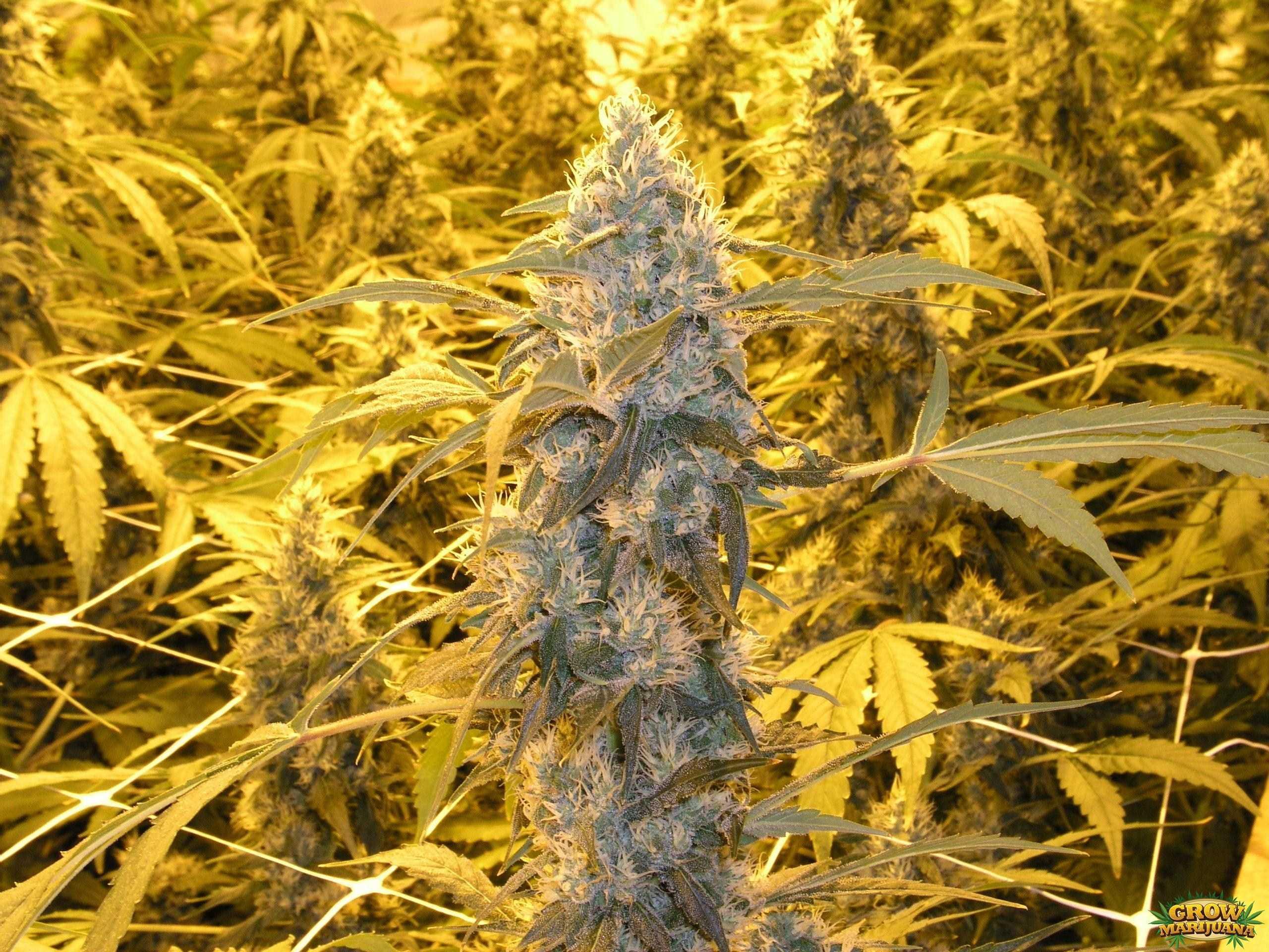 power plant seeds   strain review grow marijuana