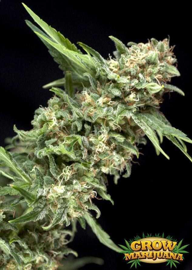 Gorilla Glue Review >> Power Plant Seeds - Strain Review | Grow-Marijuana.com