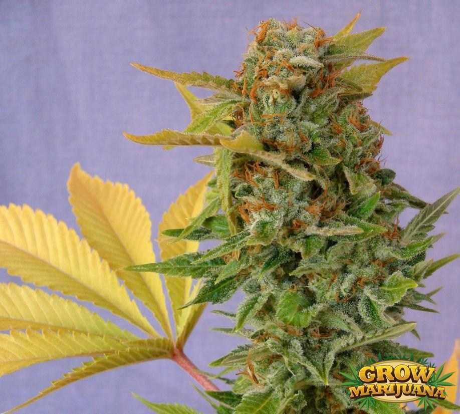 cannabis seeds how to grow