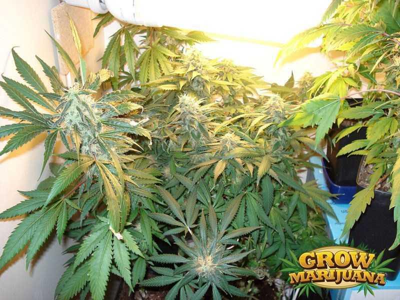 pure power plant seeds   strain review grow marijuana