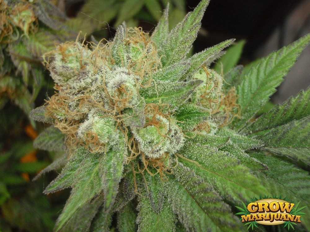 Gorilla Glue Review >> Purple Candy Seeds - Strain Review | Grow-Marijuana.com