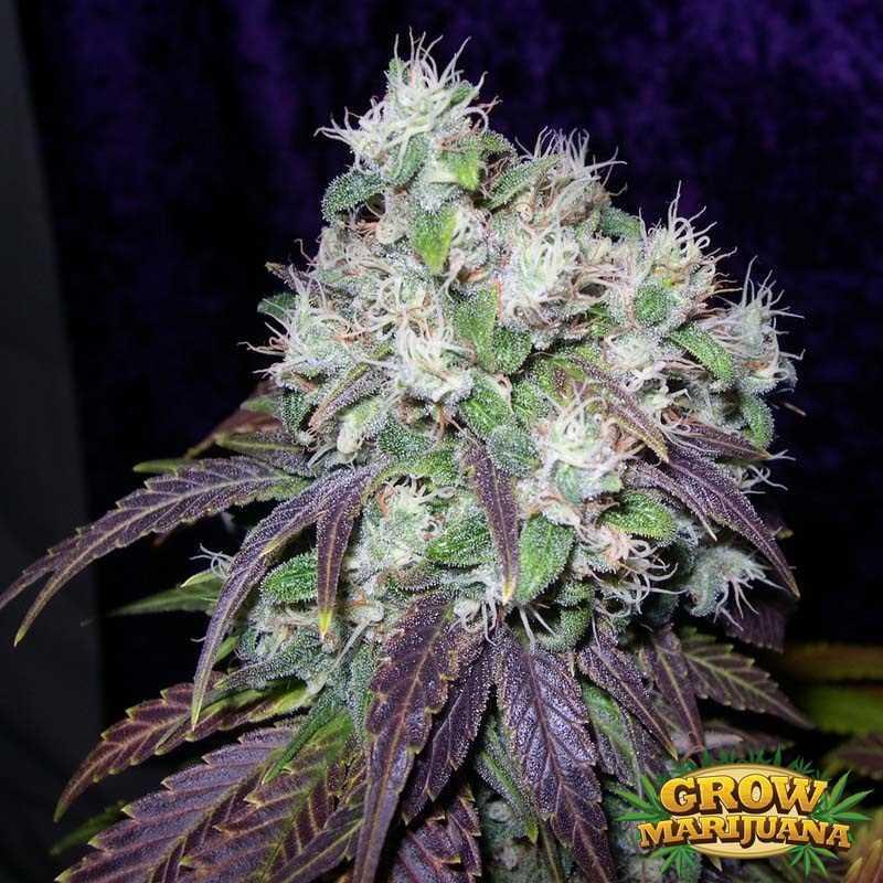 Gorilla Glue Review >> SAGE Seeds - Strain Review | Grow-Marijuana.com