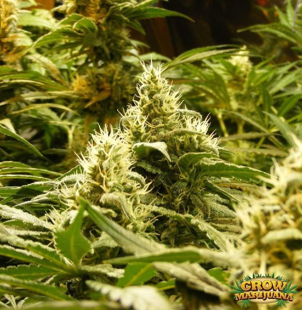 sensi star seeds   strain review grow marijuana