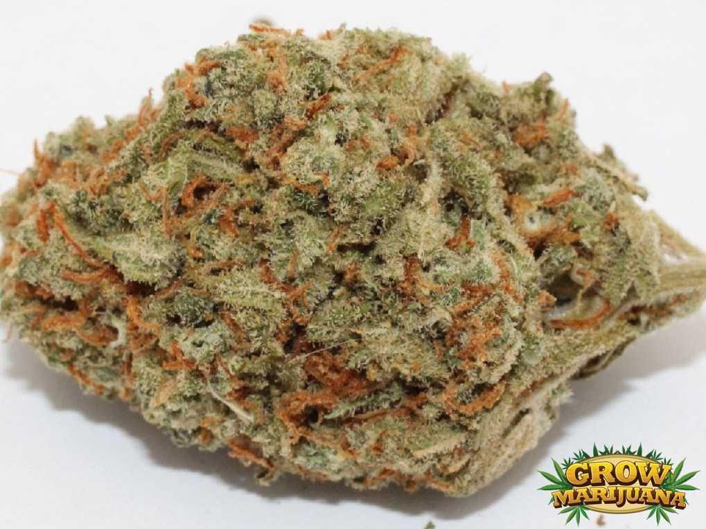 shiva skunk seeds   strain review grow marijuana