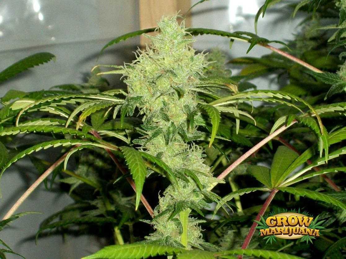 skunk 1 seeds   strain review grow marijuana