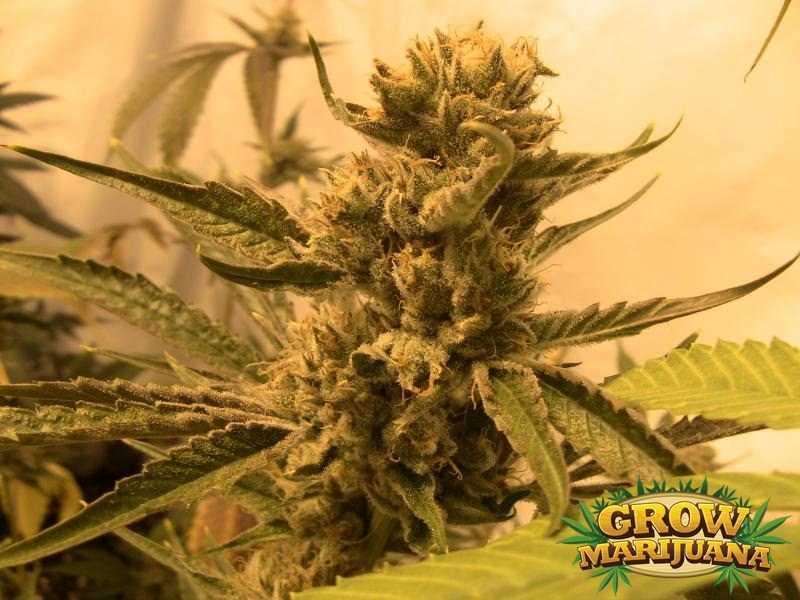sleestack seeds   strain review grow marijuana