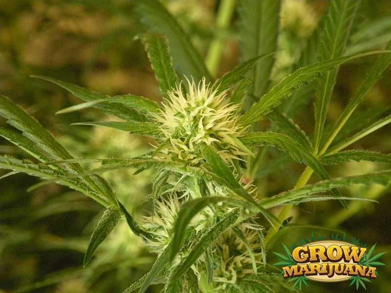 Strawberry Cough Seeds Strain Review Grow Marijuana Com
