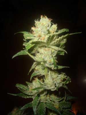 Super Lemon Haze Plant