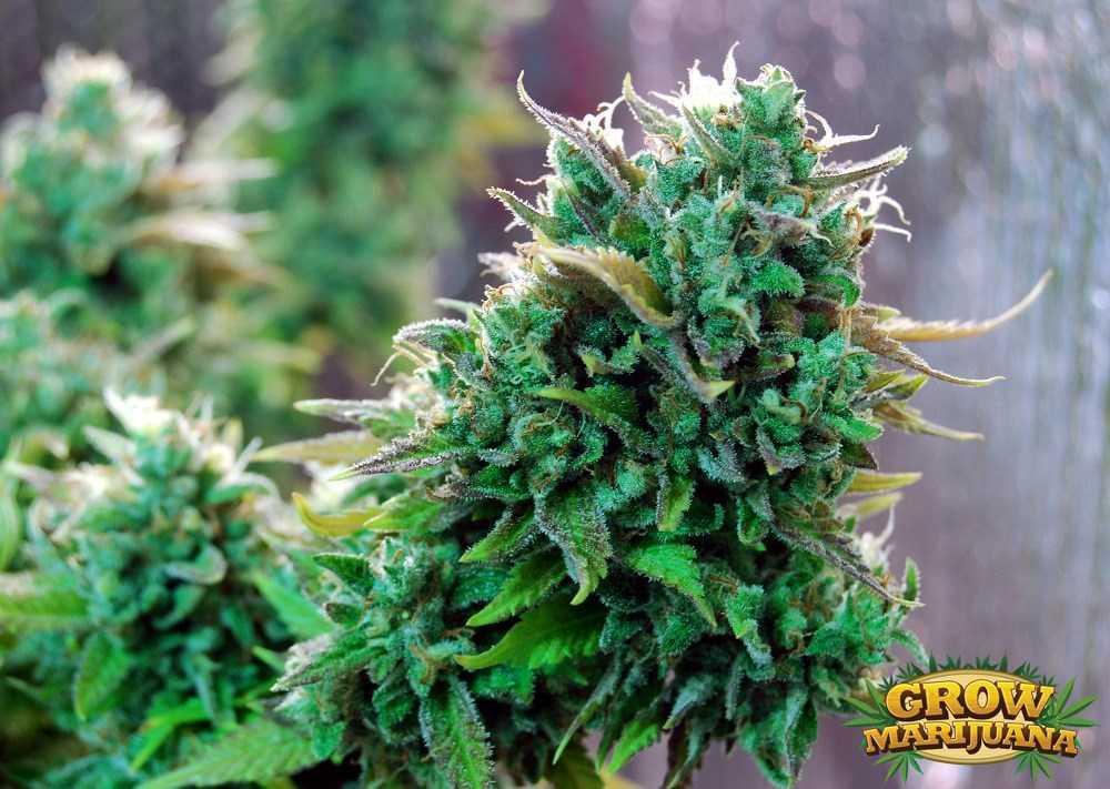 Tangerine Kush Seeds Strain Review Grow Marijuana Com