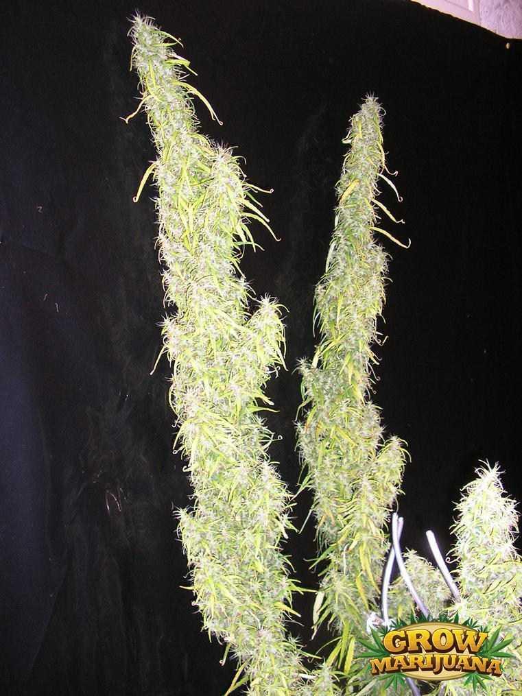 Thai Weed Seeds Strain Review Grow Marijuana Com