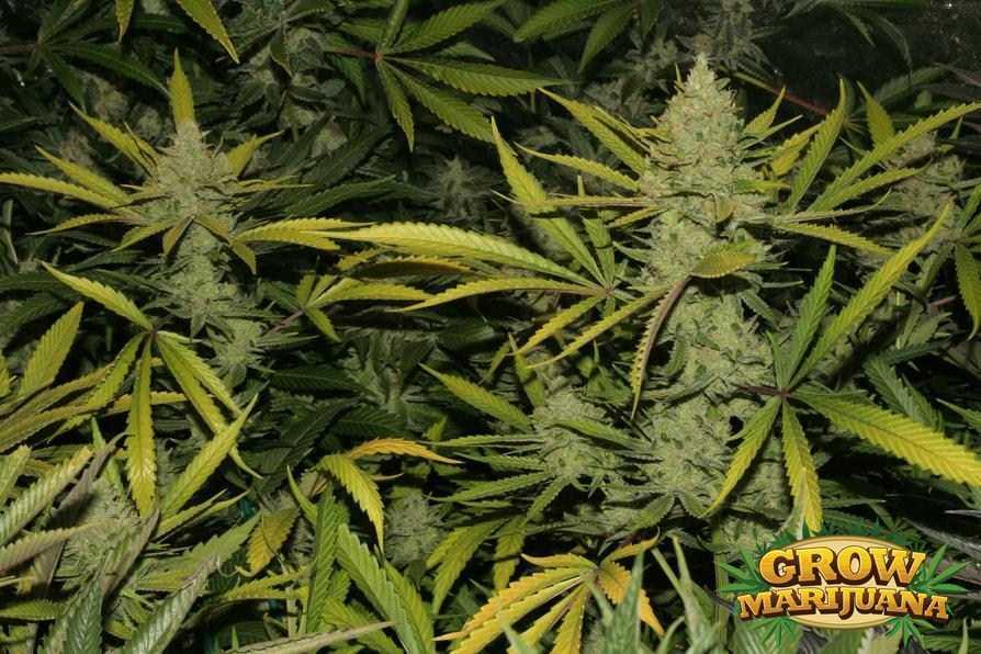 the church seeds   strain review grow marijuana