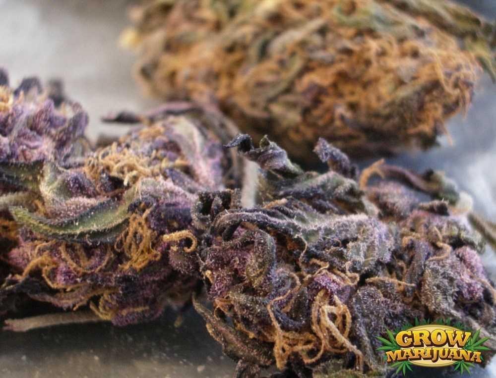 Gorilla Glue Review >> The Purps Seeds - Strain Review   Grow-Marijuana.com