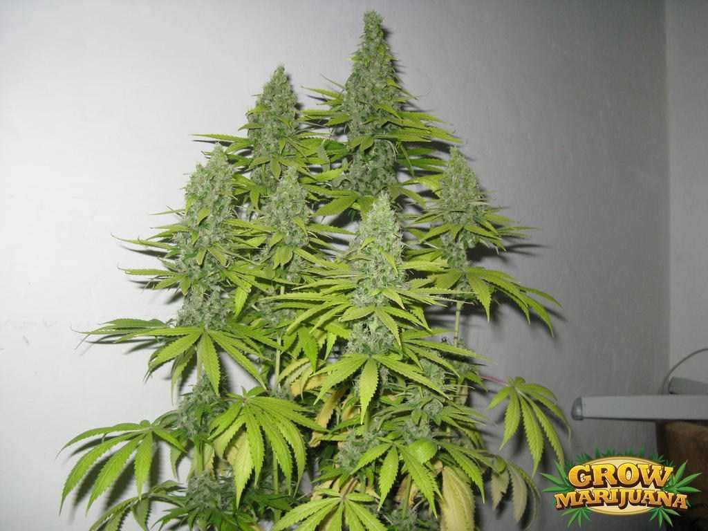 Violator kush выращивание 41