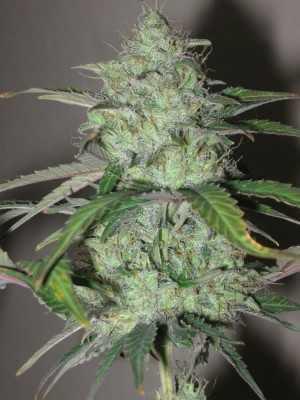 White Dwarf Plant