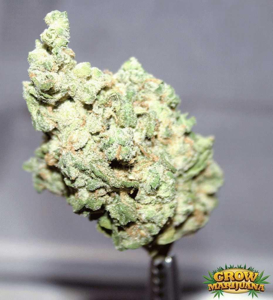 First Choice Auto >> White Russian Seeds - Strain Review | Grow-Marijuana.com
