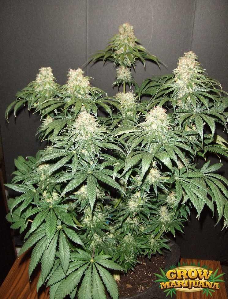 Gorilla Glue Review >> White Russian Seeds - Strain Review   Grow-Marijuana.com