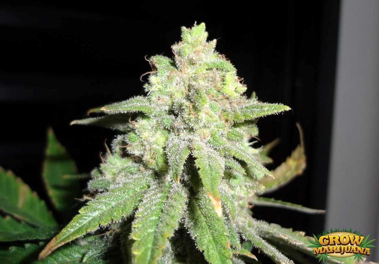 Gorilla Glue Review >> White Star Seeds - Strain Review   Grow-Marijuana.com