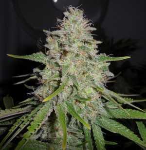 White Widow Seeds Strain Review Grow Marijuana Com
