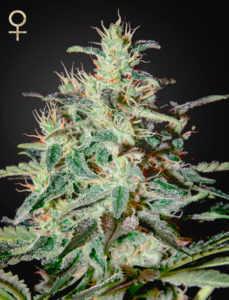 White-lemon-marijuana-strain
