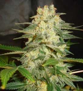 afghan-kush-ryder-marijuana