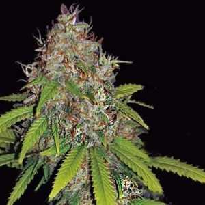 ak49-auto-vision-seeds-marijuana