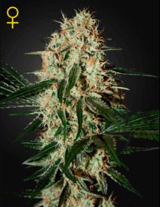 arjans-haze-3-feminized-marijuana-seeds