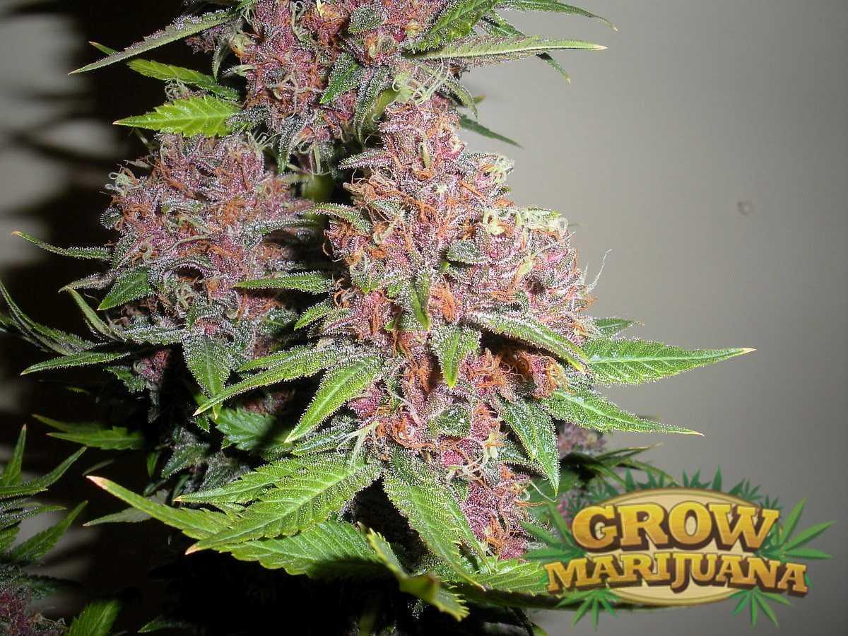 auto grandaddy purple seeds   strain review grow