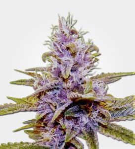 auto-blue-dream-marijuana-seeds