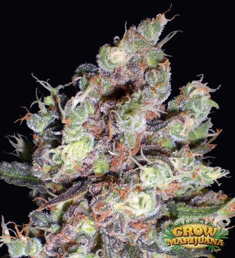 Berry Ryder Berry Ryder Grow Grow Marijuana Com