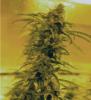 black-blood-marijuana-medicann-seeds