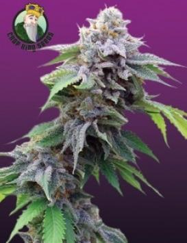 Blue Cookies - Crop King Seeds -